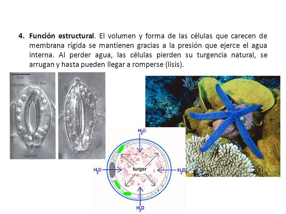 4.Función estructural. El volumen y forma de las células que carecen de membrana rígida se mantienen gracias a la presión que ejerce el agua interna.
