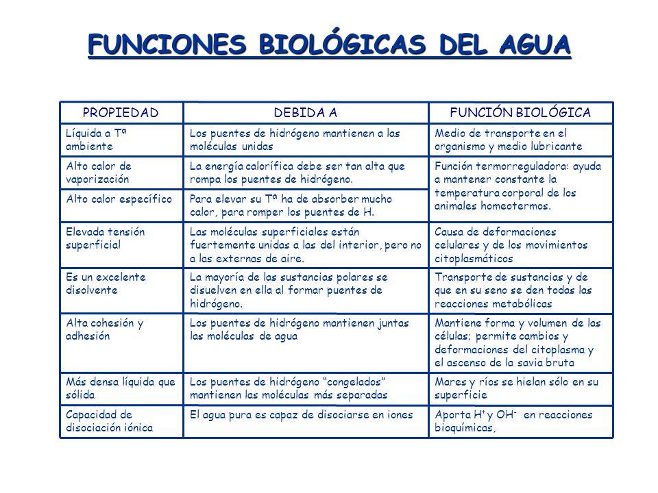 FUNCIONES BIOLÓGICAS DEL AGUA Aporta H + y OH - en reacciones bioquímicas, El agua pura es capaz de disociarse en ionesCapacidad de disociación iónica
