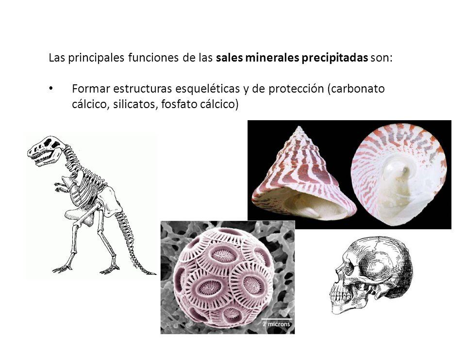 Las principales funciones de las sales minerales precipitadas son: Formar estructuras esqueléticas y de protección (carbonato cálcico, silicatos, fosf