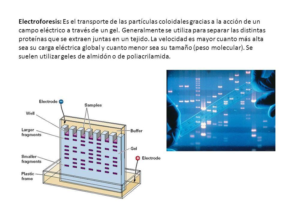 Electroforesis: Es el transporte de las partículas coloidales gracias a la acción de un campo eléctrico a través de un gel. Generalmente se utiliza pa