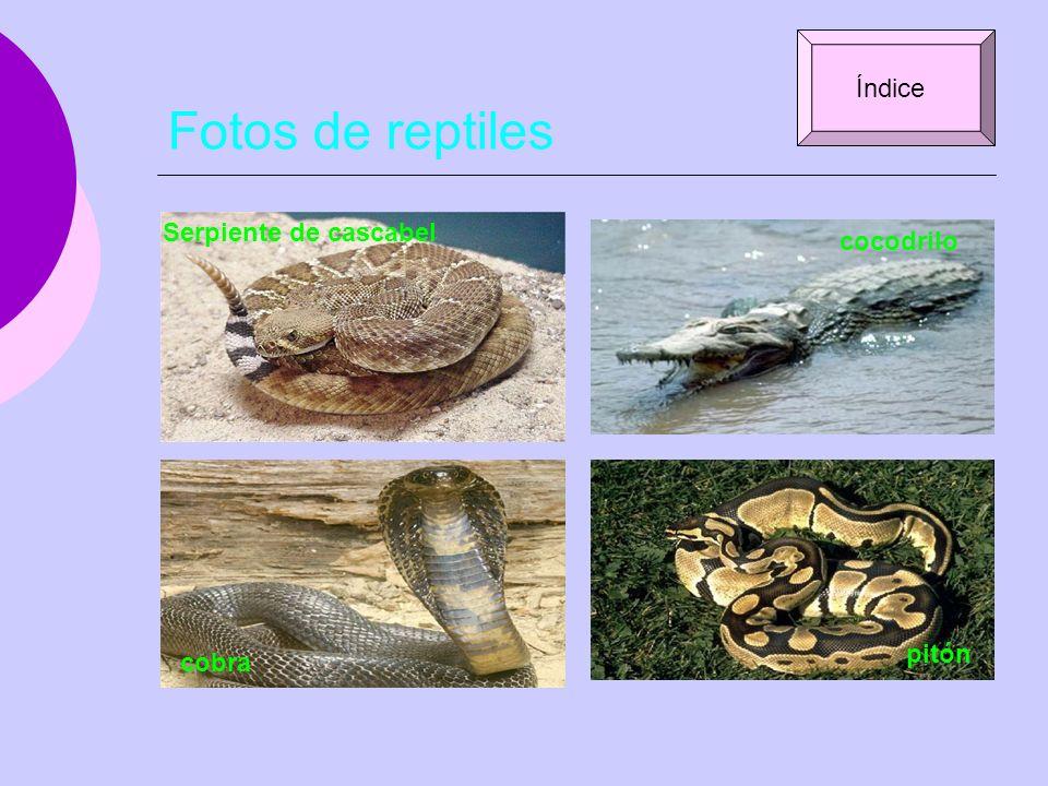 Fotos de reptiles Serpiente de cascabel cocodrilo cobra pitón Índice