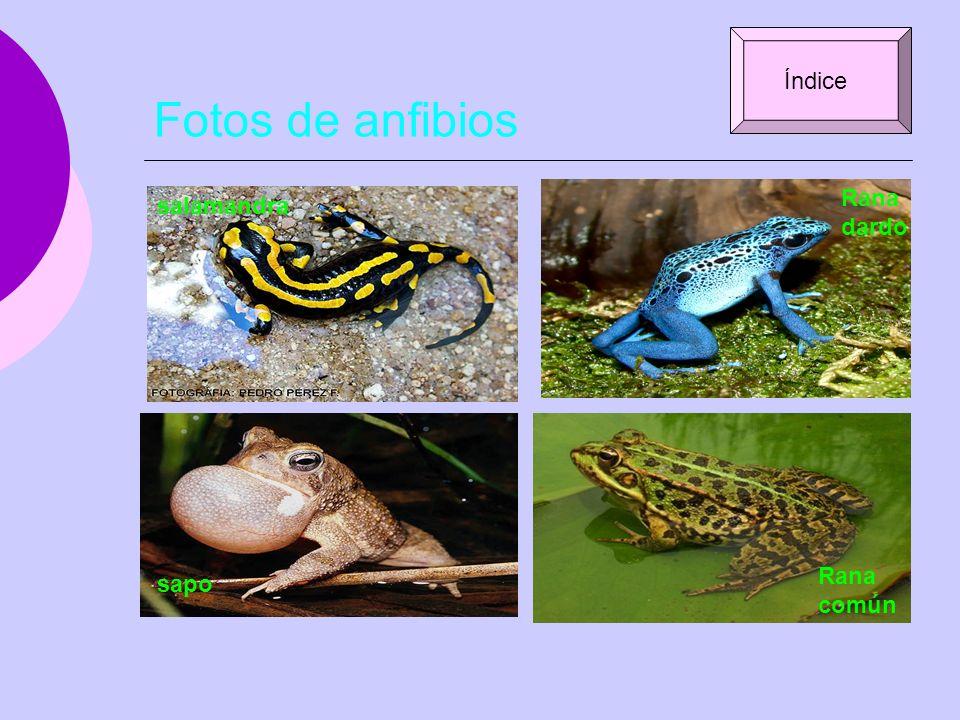 Fotos de anfibios salamandra Rana dardo sapo Rana común Índice
