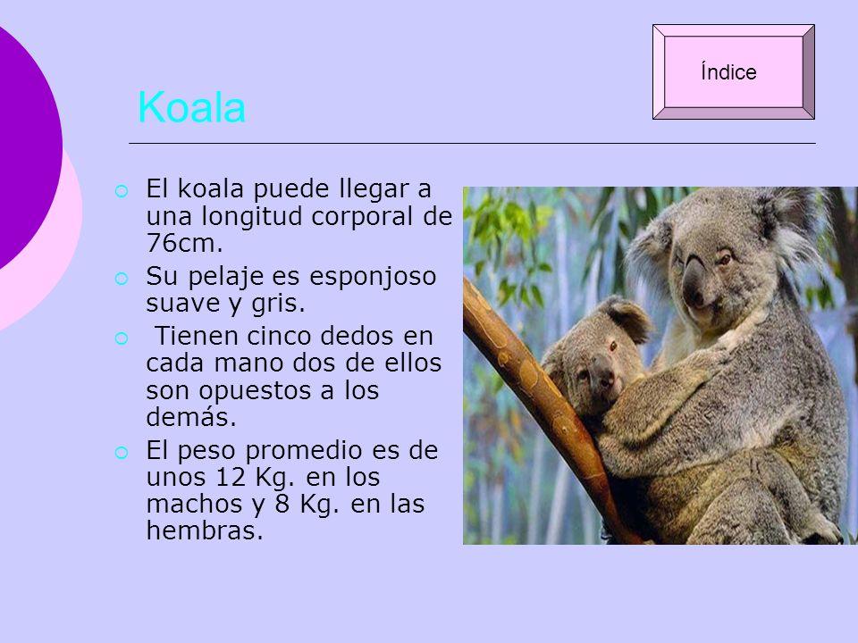 Koala El koala puede llegar a una longitud corporal de 76cm. Su pelaje es esponjoso suave y gris. Tienen cinco dedos en cada mano dos de ellos son opu