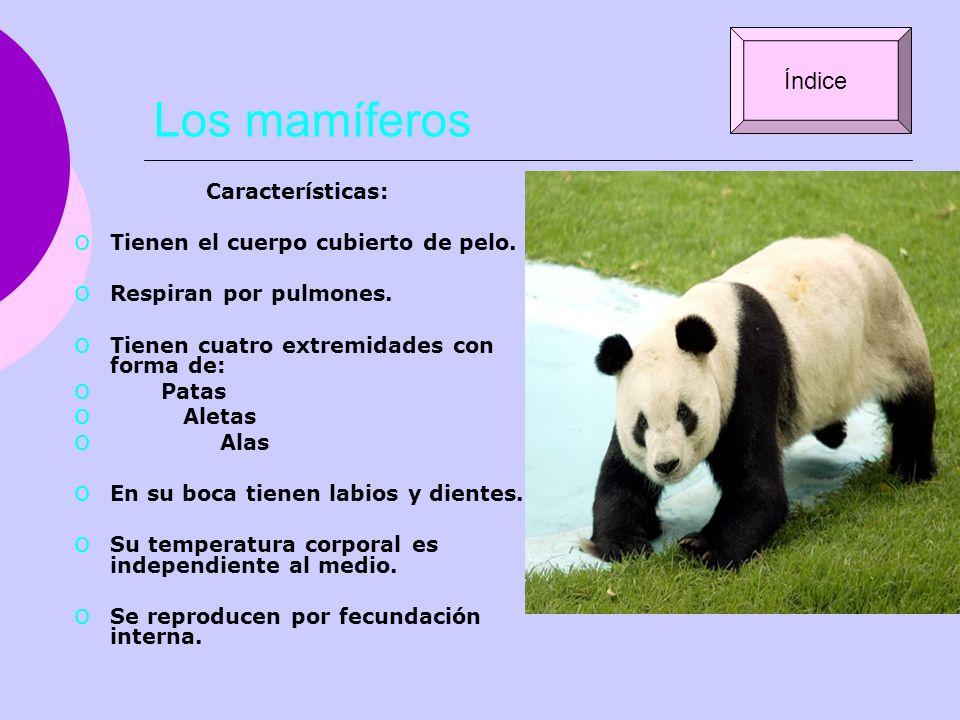 Los mamíferos Características: o Tienen el cuerpo cubierto de pelo. o Respiran por pulmones. o Tienen cuatro extremidades con forma de: o Patas o Alet