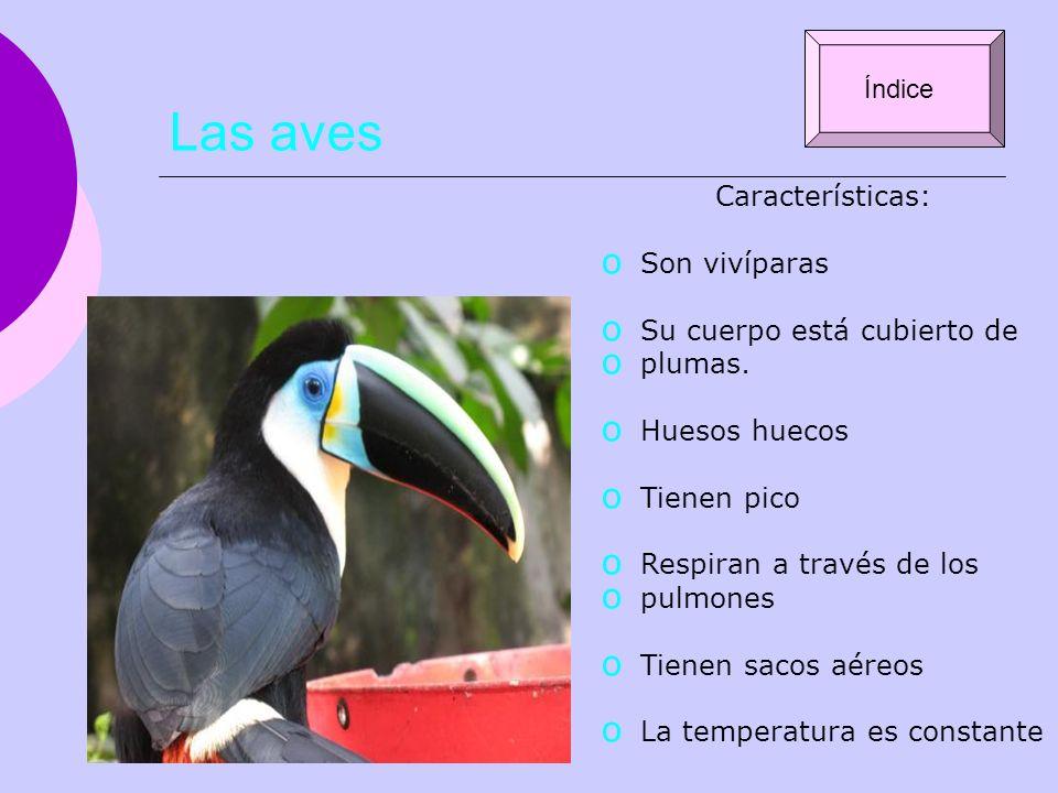 Las aves Características: o Son vivíparas o Su cuerpo está cubierto de o plumas. o Huesos huecos o Tienen pico o Respiran a través de los o pulmones o