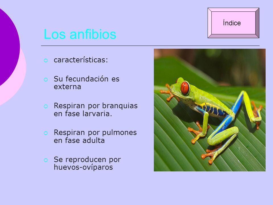 Los anfibios características: Su fecundación es externa Respiran por branquias en fase larvaria. Respiran por pulmones en fase adulta Se reproducen po