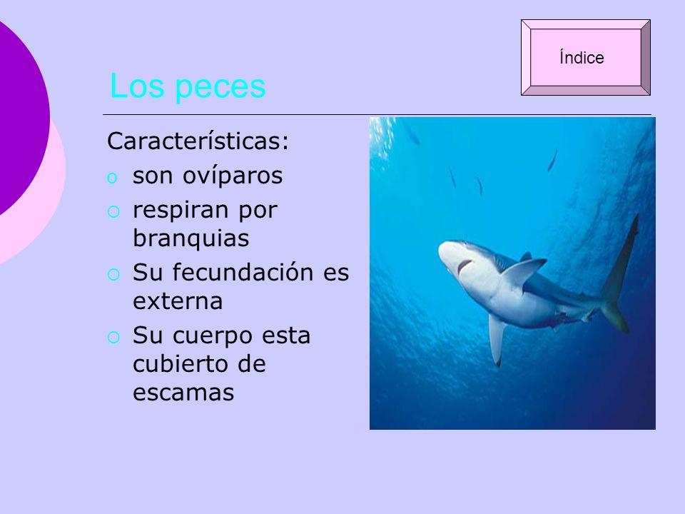 Los peces Características: o son ovíparos respiran por branquias Su fecundación es externa Su cuerpo esta cubierto de escamas Índice