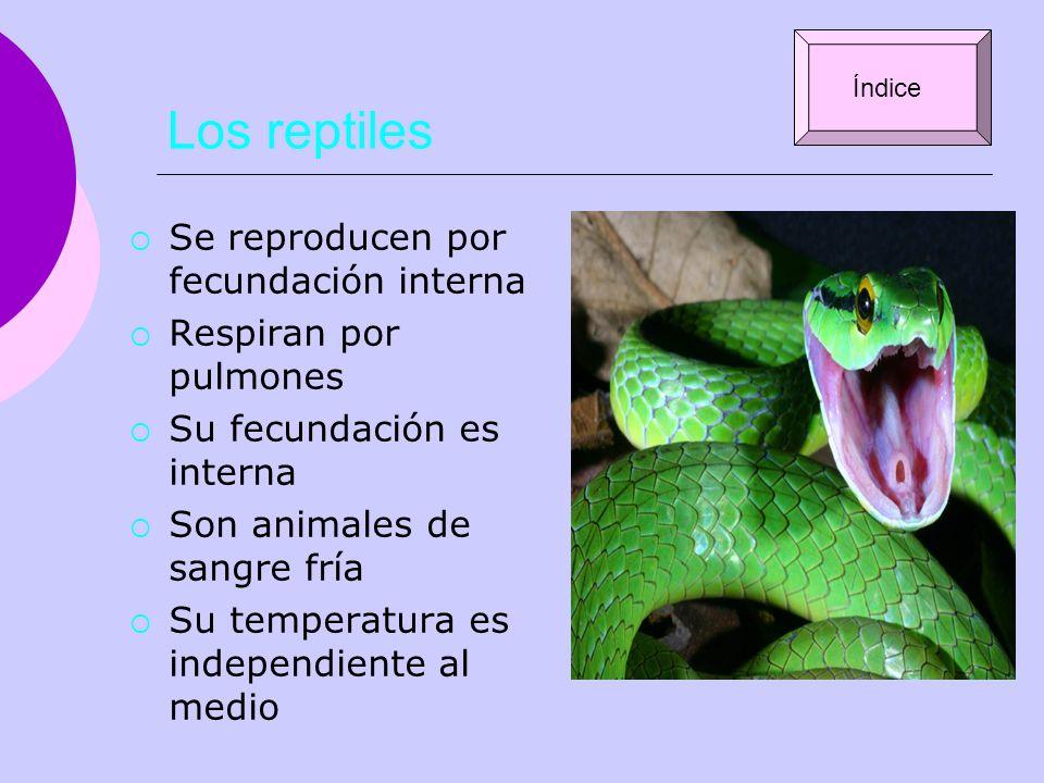 Los reptiles Se reproducen por fecundación interna Respiran por pulmones Su fecundación es interna Son animales de sangre fría Su temperatura es indep