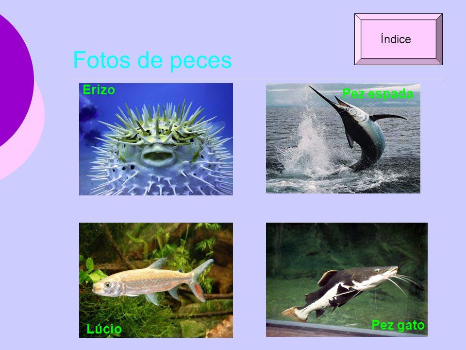 Fotos de peces Erizo Pez espada Lúcio Pez gato Índice
