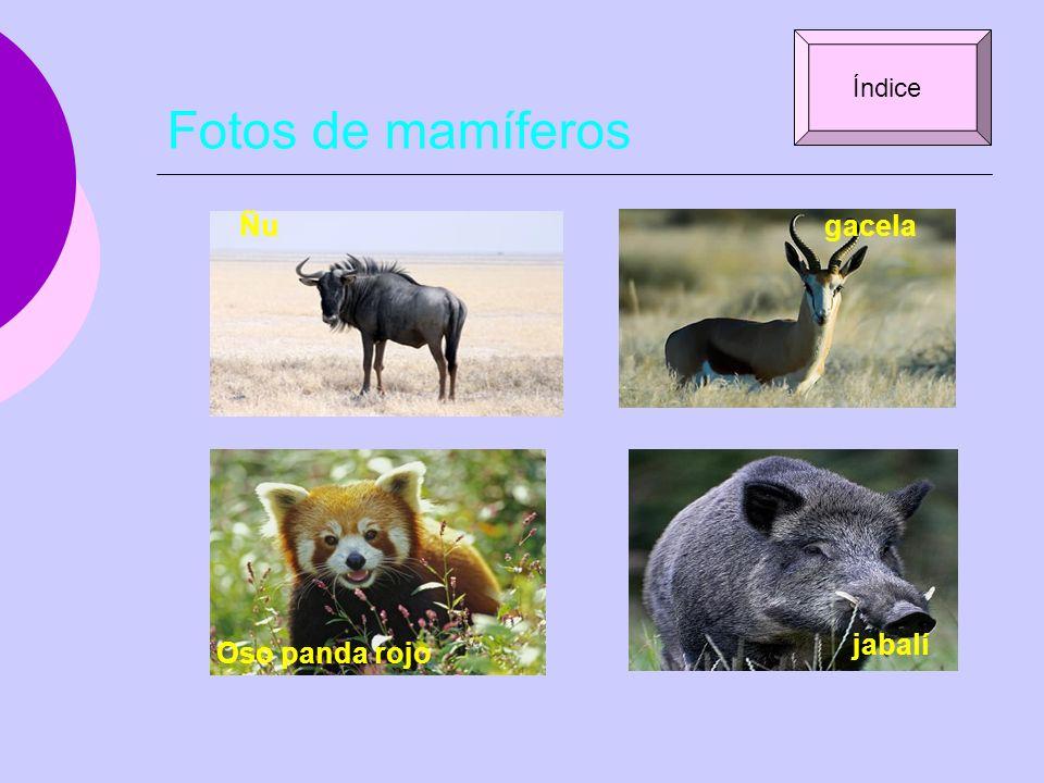 Fotos de mamíferos Ñugacela Oso panda rojo jabalí Índice