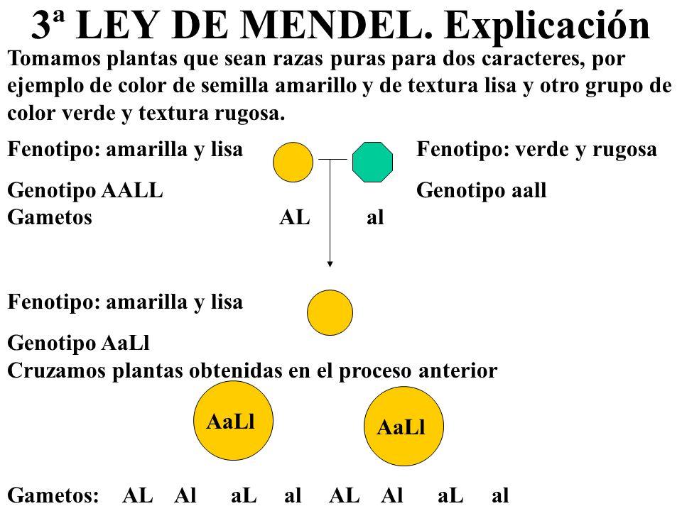 3ª LEY DE MENDEL. Explicación Tomamos plantas que sean razas puras para dos caracteres, por ejemplo de color de semilla amarillo y de textura lisa y o