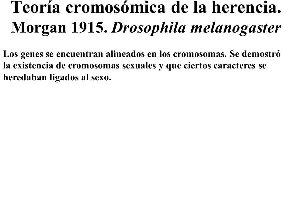 Teoría cromosómica de la herencia. Morgan 1915. Drosophila melanogaster Los genes se encuentran alineados en los cromosomas. Se demostró la existencia
