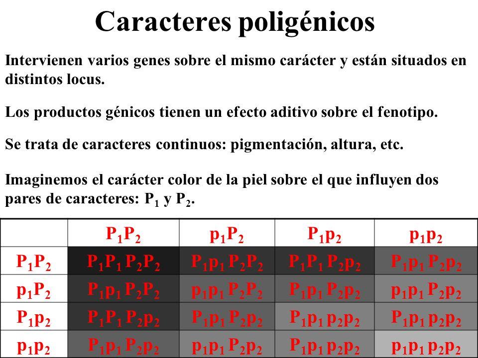 Caracteres poligénicos Intervienen varios genes sobre el mismo carácter y están situados en distintos locus. Se trata de caracteres continuos: pigment