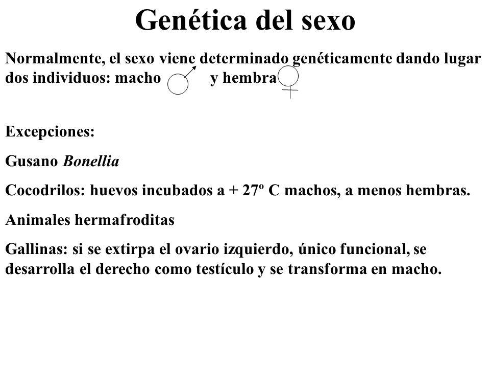 Genética del sexo Normalmente, el sexo viene determinado genéticamente dando lugar dos individuos: macho y hembra Excepciones: Gusano Bonellia Cocodri