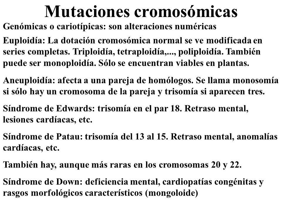 Mutaciones cromosómicas Genómicas o cariotípicas: son alteraciones numéricas Euploidía: La dotación cromosómica normal se ve modificada en series comp