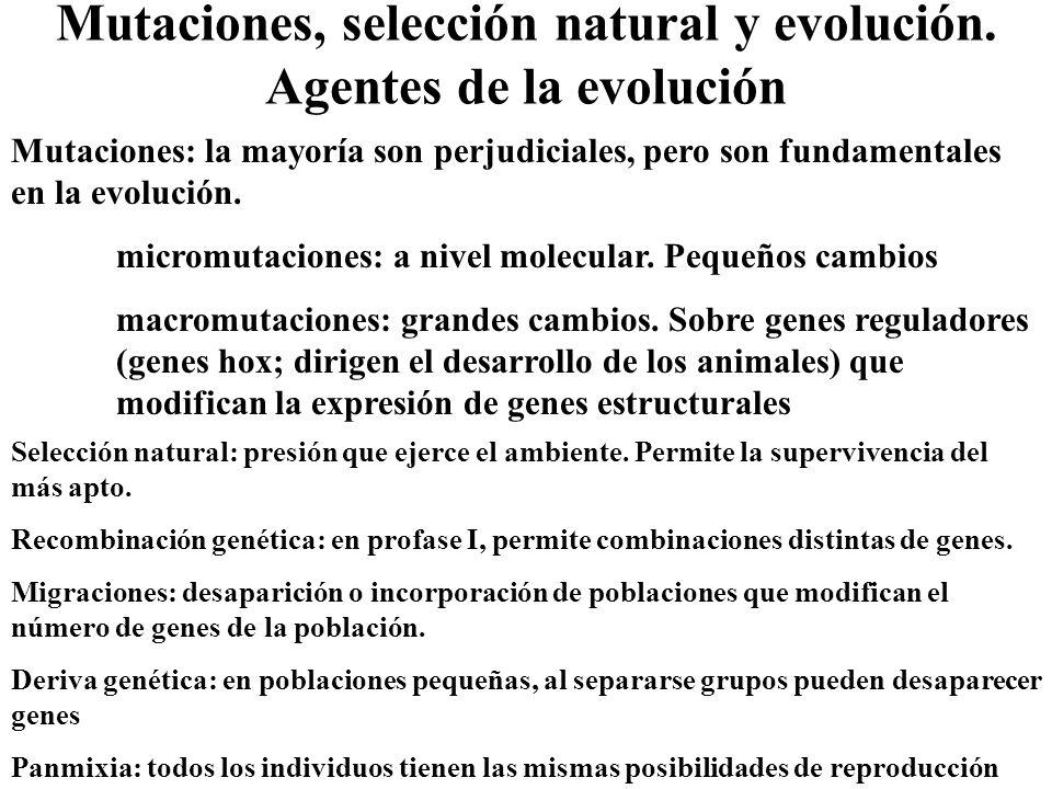 Mutaciones, selección natural y evolución. Agentes de la evolución Mutaciones: la mayoría son perjudiciales, pero son fundamentales en la evolución. m