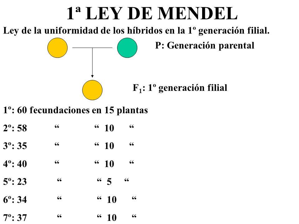 1ª LEY DE MENDEL Ley de la uniformidad de los híbridos en la 1º generación filial. P: Generación parental F 1 : 1º generación filial 1º: 60 fecundacio