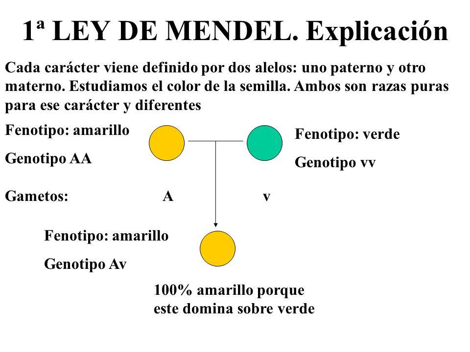 1ª LEY DE MENDEL. Explicación Cada carácter viene definido por dos alelos: uno paterno y otro materno. Estudiamos el color de la semilla. Ambos son ra