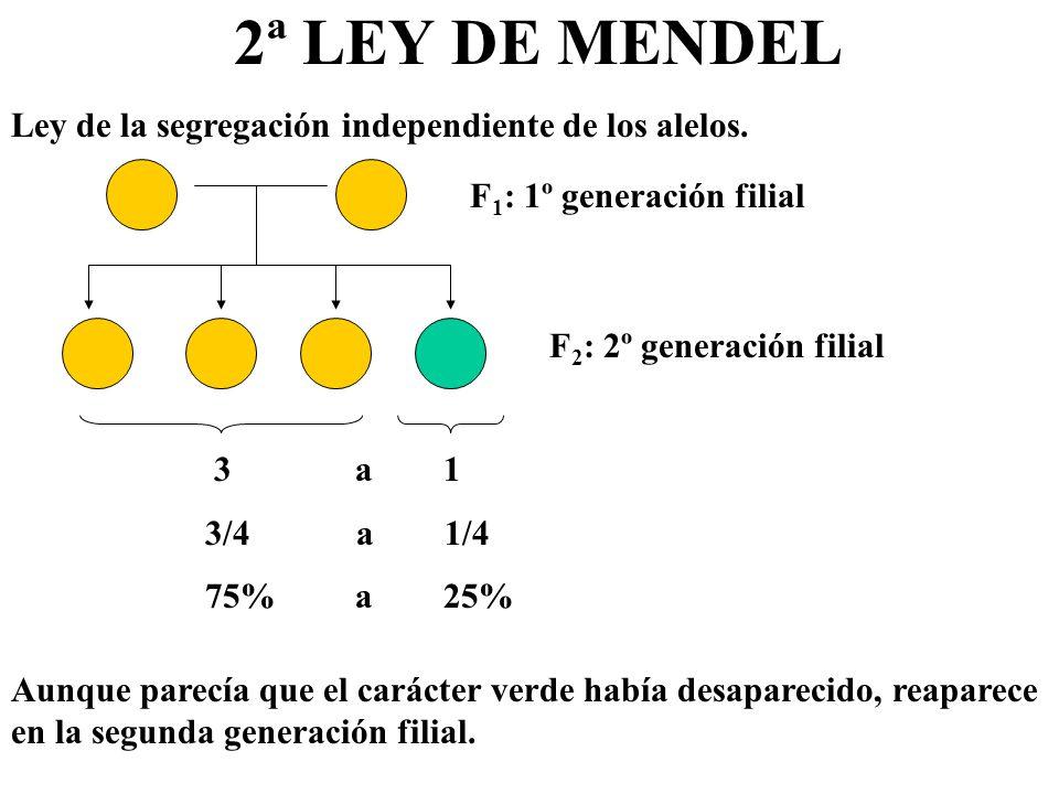 2ª LEY DE MENDEL Ley de la segregación independiente de los alelos. F 1 : 1º generación filial F 2 : 2º generación filial 3 a 1 3/4 a 1/4 75% a 25% Au