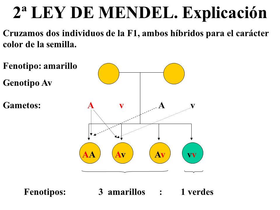 2ª LEY DE MENDEL. Explicación Cruzamos dos individuos de la F1, ambos híbridos para el carácter color de la semilla. Fenotipo: amarillo Genotipo Av Ga