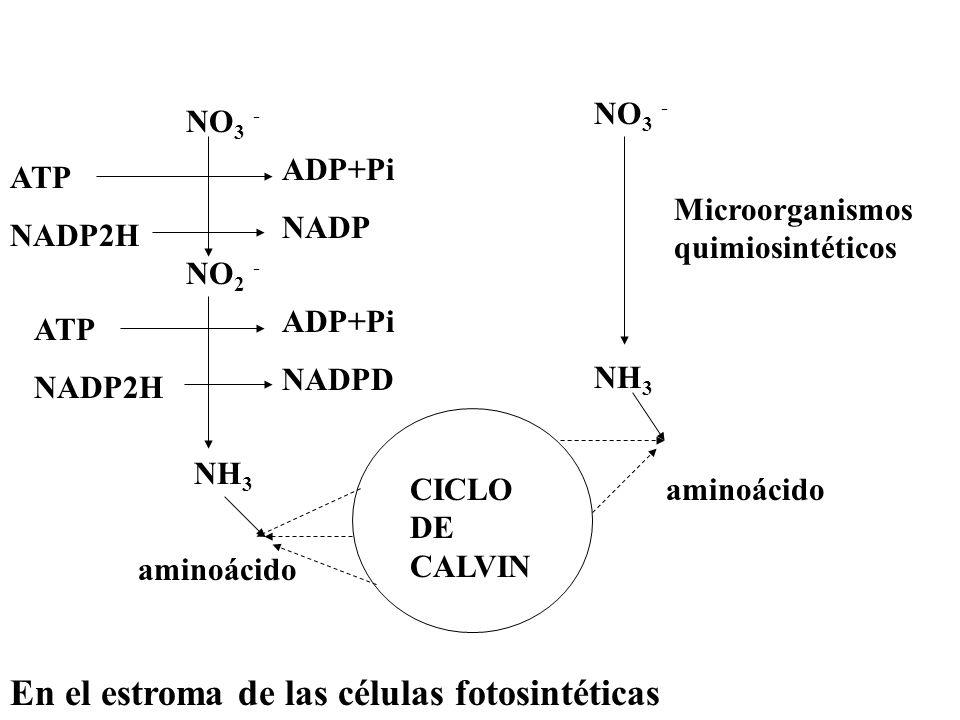 NO 3 - NO 2 - NH 3 ATP NADP2H ADP+Pi NADP ATP NADP2H ADP+Pi NADPD NO 3 - NH 3 Microorganismos quimiosintéticos CICLO DE CALVIN aminoácido En el estrom
