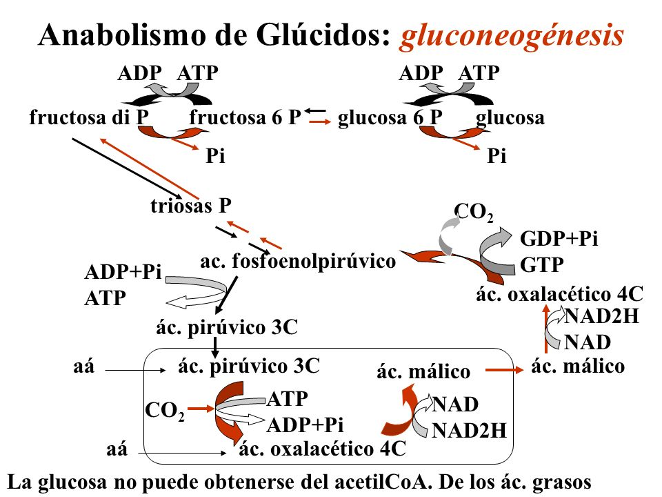 Anabolismo de Glúcidos: gluconeogénesis ác. pirúvico 3C ác. oxalacético 4C aá ác. málico NAD NAD2H ac. fosfoenolpirúvico ác. málico ác. oxalacético 4C