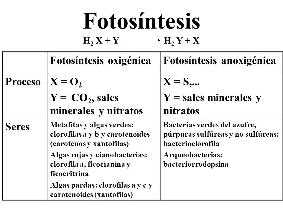Fotosíntesis H 2 X + Y H 2 Y + X Fotosíntesis oxigénicaFotosíntesis anoxigénica ProcesoX = O 2 Y = CO 2, sales minerales y nitratos X = S,... Y = sale