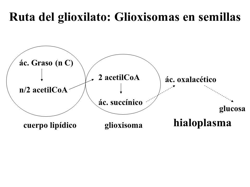 Ruta del glioxilato: Glioxisomas en semillas cuerpo lipídicoglioxisoma ác. Graso (n C) n/2 acetilCoA 2 acetilCoA ác. succínico glucosa hialoplasma ác.