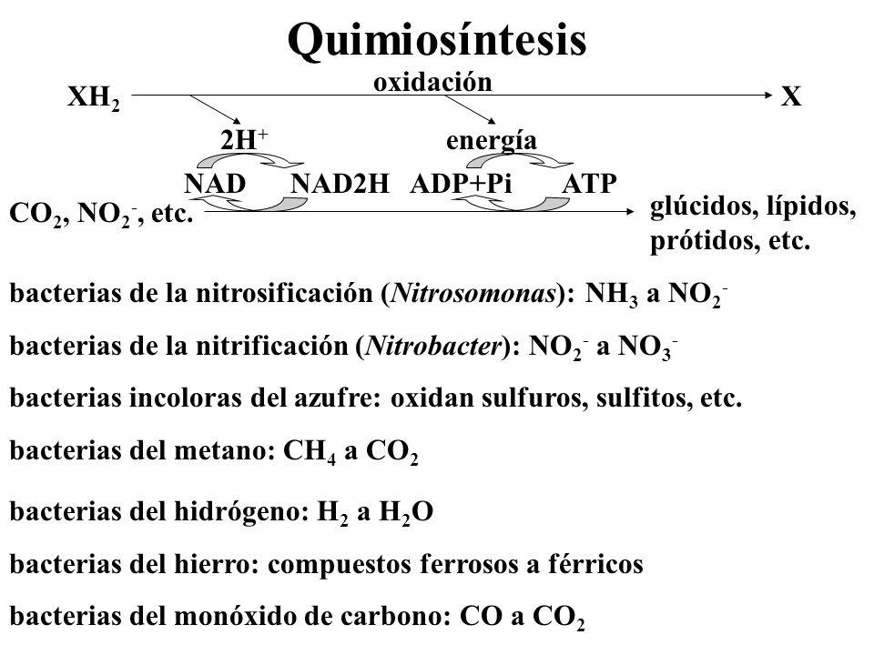 Quimiosíntesis XH 2 X oxidación2H + energía CO 2, NO 2 -, etc. glúcidos, lípidos, prótidos, etc. NAD NAD2HADP+Pi ATP bacterias de la nitrosificación (