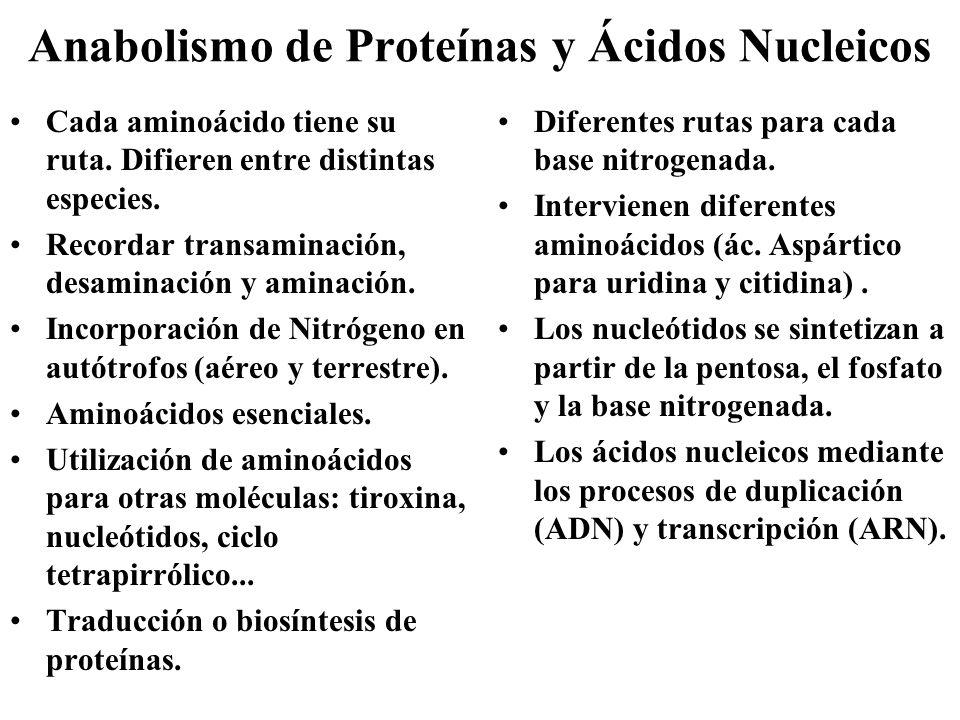Anabolismo de Proteínas y Ácidos Nucleicos Cada aminoácido tiene su ruta. Difieren entre distintas especies. Recordar transaminación, desaminación y a