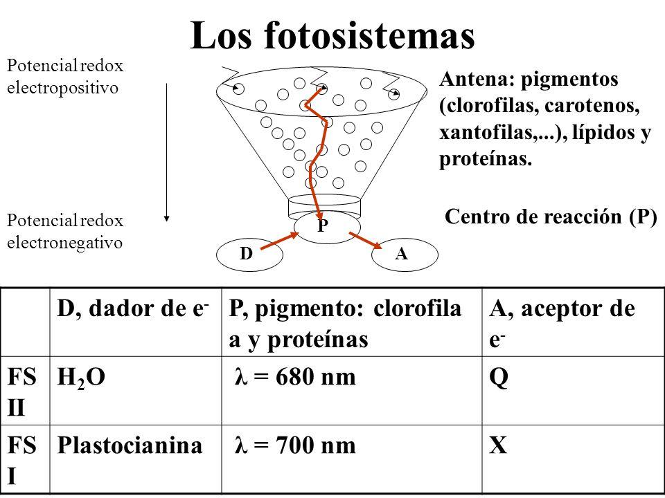 Los fotosistemas Potencial redox electropositivo Potencial redox electronegativo P AD D, dador de e - P, pigmento: clorofila a y proteínas A, aceptor