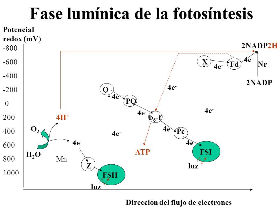 Fase lumínica de la fotosíntesis -800 -600 -400 -200 0 200 400 600 800 1000 Potencial redox (mV) Dirección del flujo de electrones Z FSII Q PQ b 6 -f