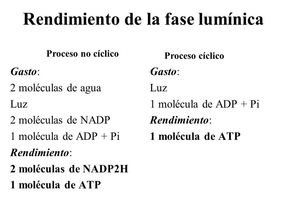 Rendimiento de la fase lumínica Gasto: 2 moléculas de agua Luz 2 moléculas de NADP 1 molécula de ADP + Pi Rendimiento: 2 moléculas de NADP2H 1 molécul