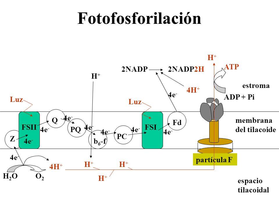 Fotofosforilación membrana del tilacoide estroma espacio tilacoidal Z FSII Q PQ b 6 -f PC FSI Fd partícula F 4e - H2OH2OO2O2 4H + H+H+ H+H+ H+H+ H+H+