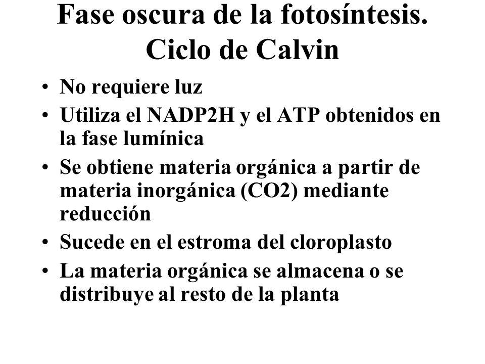 Fase oscura de la fotosíntesis. Ciclo de Calvin No requiere luz Utiliza el NADP2H y el ATP obtenidos en la fase lumínica Se obtiene materia orgánica a