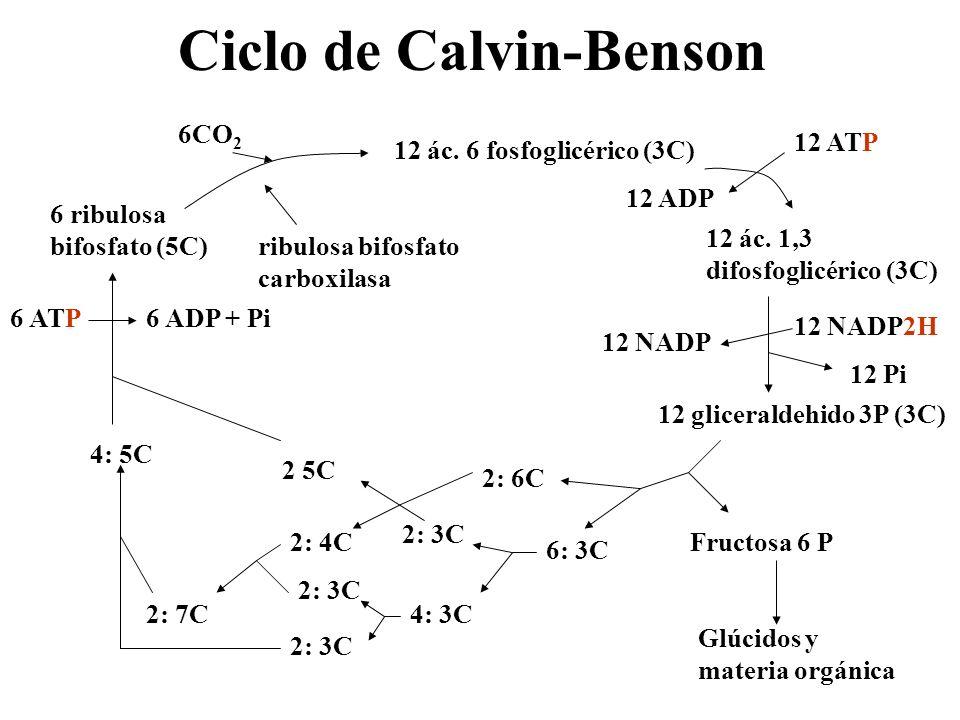Ciclo de Calvin-Benson 6 ribulosa bifosfato (5C) 6CO 2 ribulosa bifosfato carboxilasa 12 ác. 6 fosfoglicérico (3C) 12 ác. 1,3 difosfoglicérico (3C) 12
