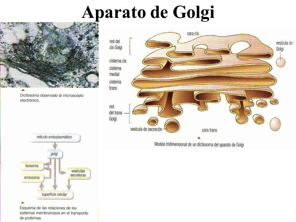 Aparato de Golgi