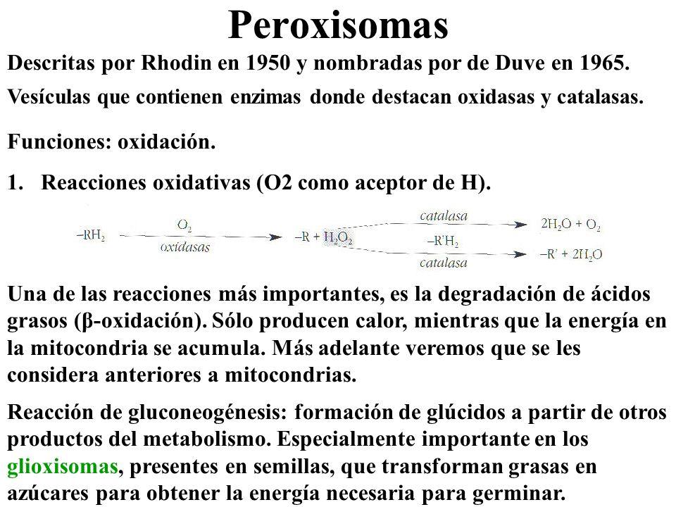 Peroxisomas Descritas por Rhodin en 1950 y nombradas por de Duve en 1965. Vesículas que contienen enzimas donde destacan oxidasas y catalasas. Funcion