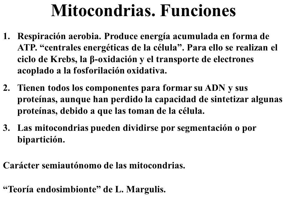 Mitocondrias. Funciones 1.Respiración aerobia. Produce energía acumulada en forma de ATP. centrales energéticas de la célula. Para ello se realizan el