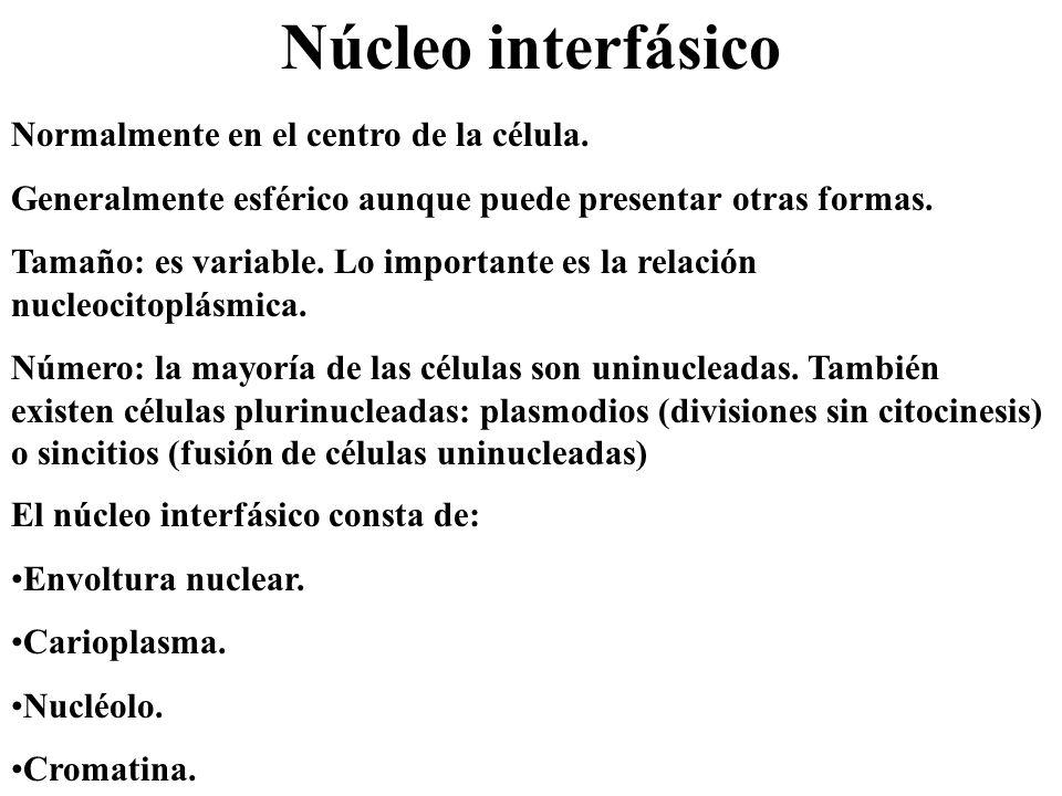 Núcleo interfásico Normalmente en el centro de la célula. Generalmente esférico aunque puede presentar otras formas. Tamaño: es variable. Lo important