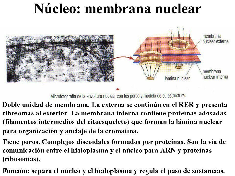 Núcleo: membrana nuclear