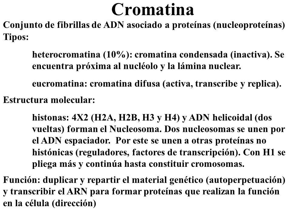 Cromatina Conjunto de fibrillas de ADN asociado a proteínas (nucleoproteínas) Tipos: heterocromatina (10%): cromatina condensada (inactiva). Se encuen