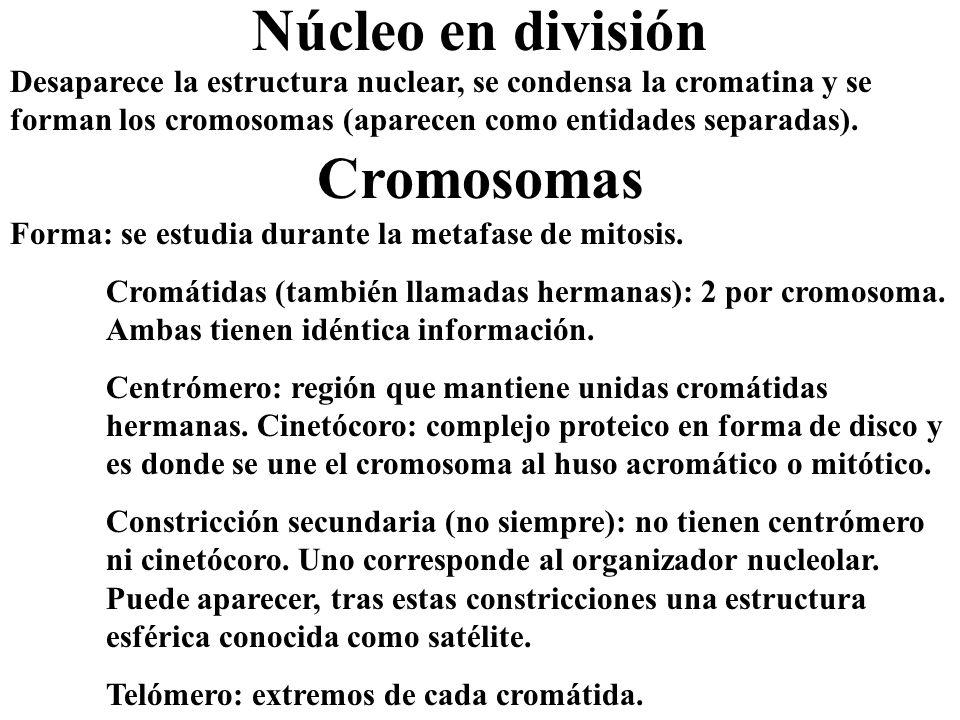 Núcleo en división Desaparece la estructura nuclear, se condensa la cromatina y se forman los cromosomas (aparecen como entidades separadas). Cromosom