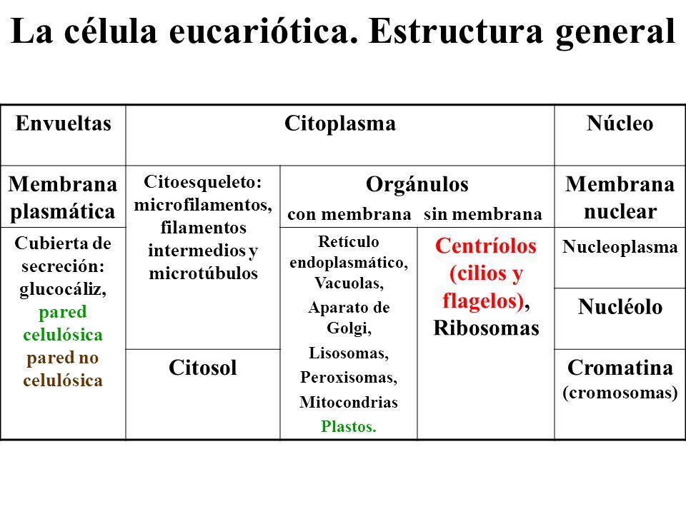 La célula eucariótica. Estructura general EnvueltasCitoplasmaNúcleo Membrana plasmática Citoesqueleto: microfilamentos, filamentos intermedios y micro