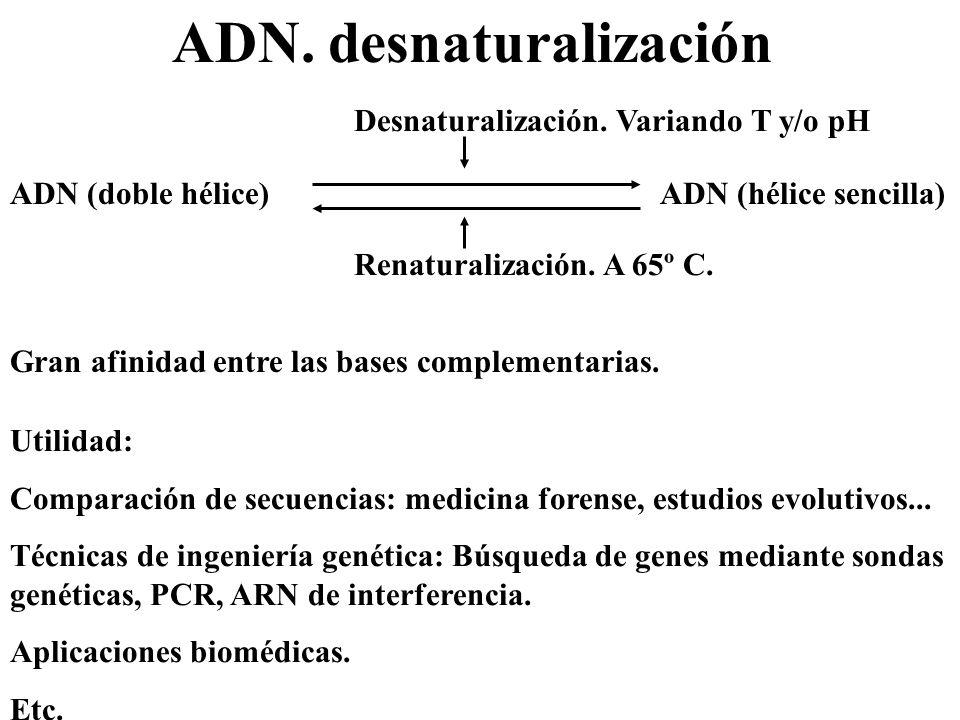 ADN. desnaturalización ADN (doble hélice) ADN (hélice sencilla) Desnaturalización. Variando T y/o pH Renaturalización. A 65º C. Gran afinidad entre la