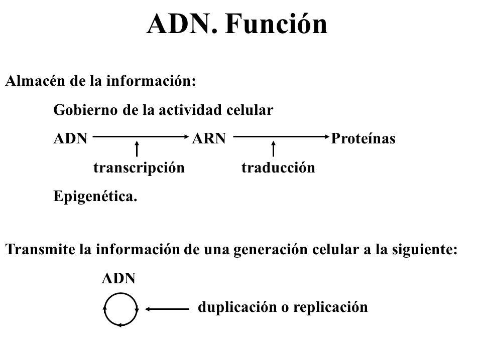 ADN. Función Almacén de la información: Gobierno de la actividad celular ADN ARN Proteínas transcripción traducción Epigenética. Transmite la informac