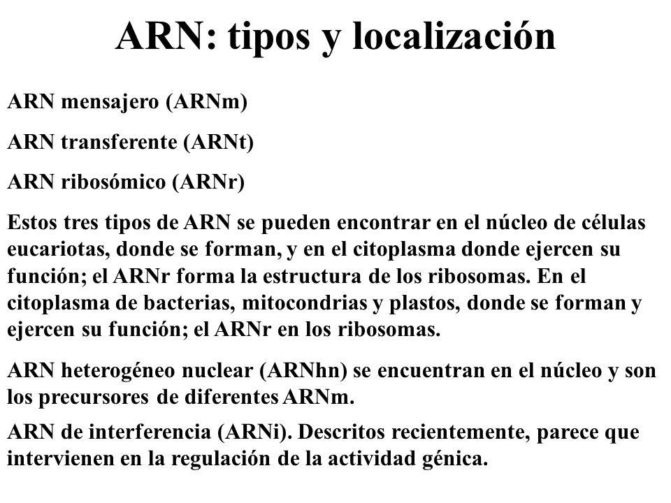 ARN: tipos y localización ARN mensajero (ARNm) ARN transferente (ARNt) ARN ribosómico (ARNr) Estos tres tipos de ARN se pueden encontrar en el núcleo