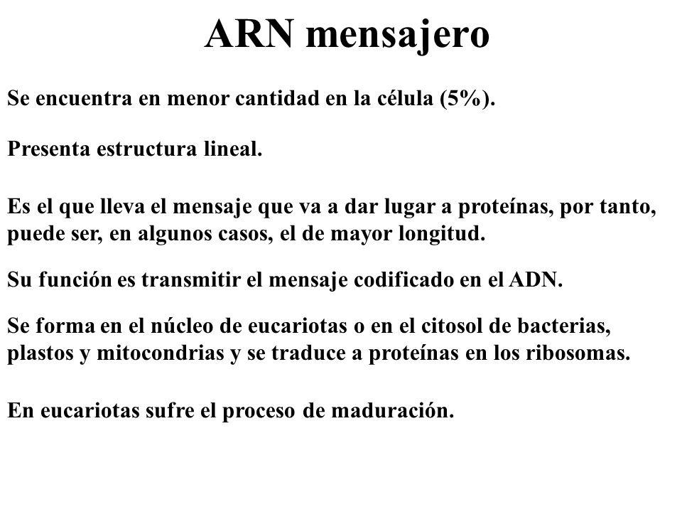 ARN mensajero Se encuentra en menor cantidad en la célula (5%). Es el que lleva el mensaje que va a dar lugar a proteínas, por tanto, puede ser, en al