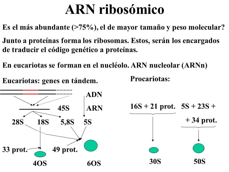 ARN ribosómico Es el más abundante (>75%), el de mayor tamaño y peso molecular? Junto a proteínas forma los ribosomas. Estos, serán los encargados de