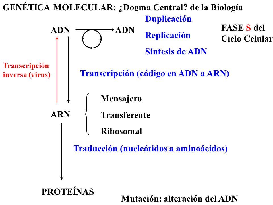GENÉTICA MOLECULAR: ¿Dogma Central? de la Biología Transcripción (código en ADN a ARN) ADN Duplicación Replicación Síntesis de ADN FASE S del Ciclo Ce